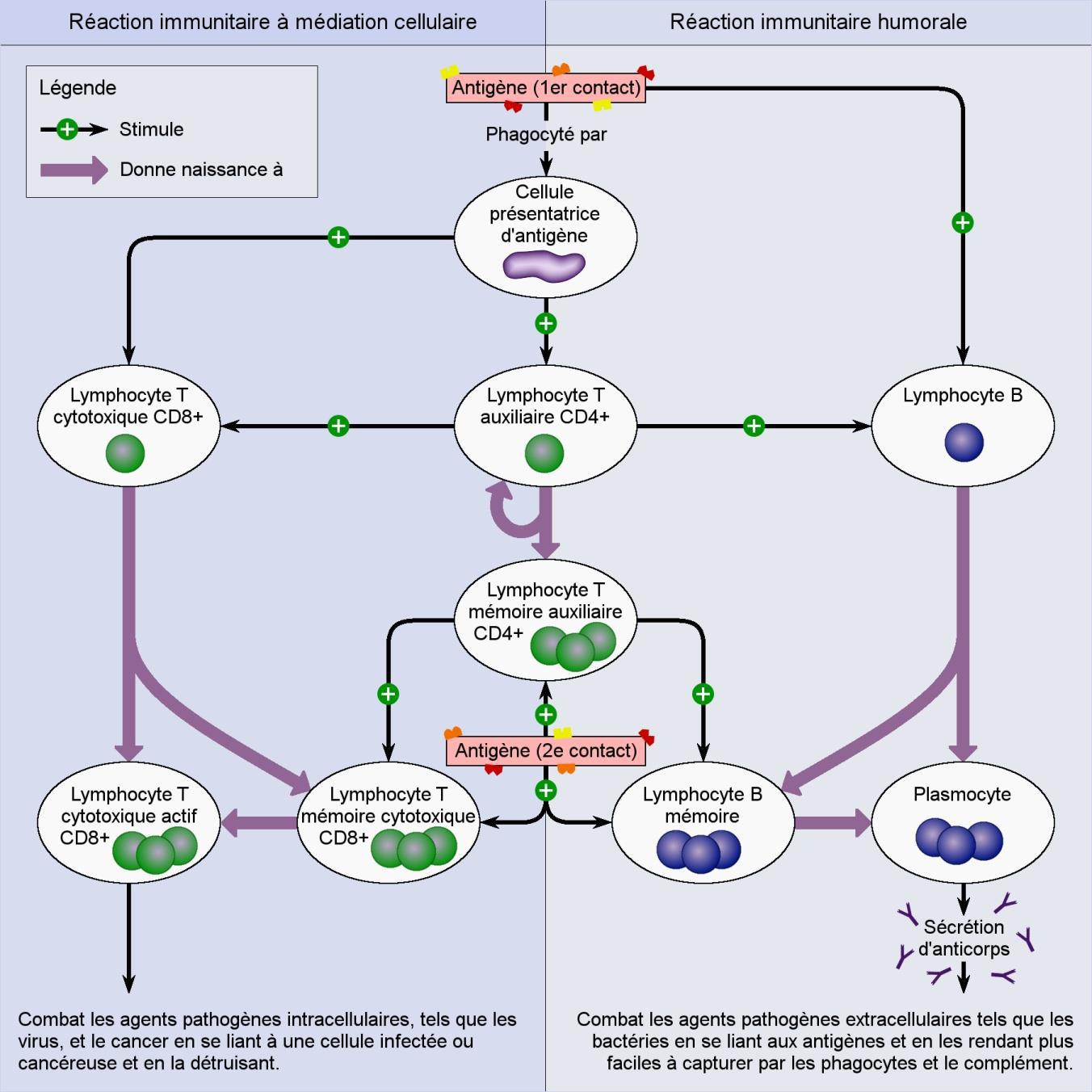 Le schéma montre les différentes cellules induites par la réaction immunitaire humorale et par celle à médiation cellulaire à la suite d'un premier ou d'un second contact avec un antigène spécifique