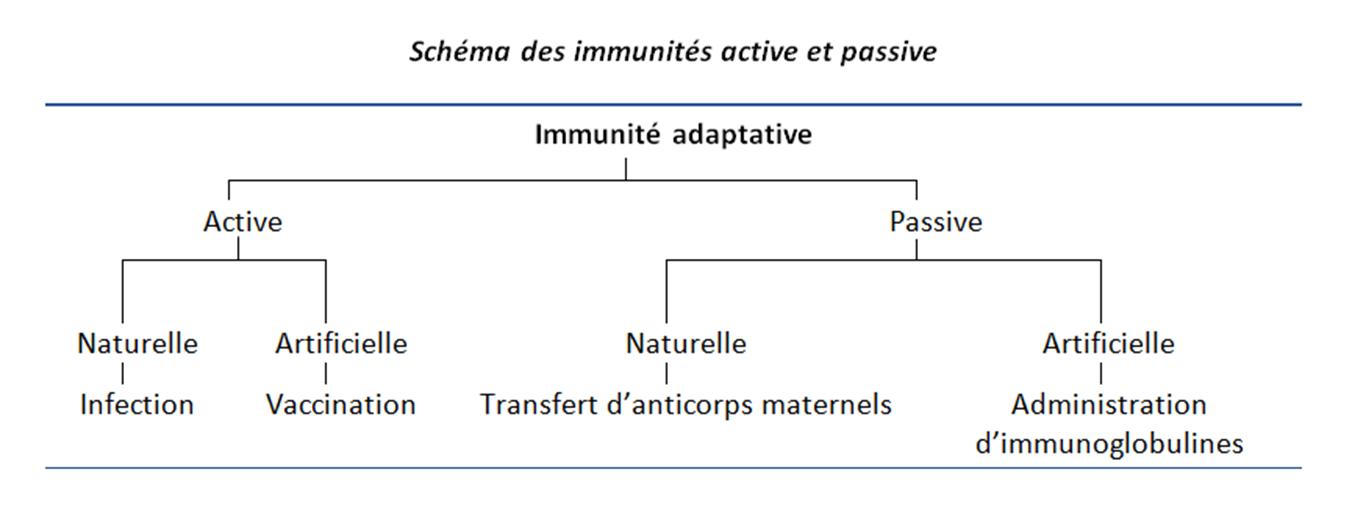 Schéma des immunités active et passive